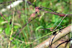Dragonfly insect sitting in plants Stock Photography
