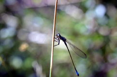 Dragonfly insect sitting in plants Stock Images