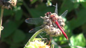 Dragonfly insect stock video footage