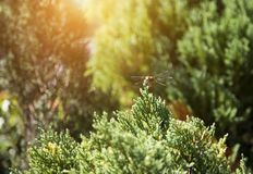 Dragonfly insect on top of pine tree stock image