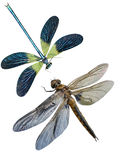 Dragonfly insects. It is isolated on a white background royalty free stock image