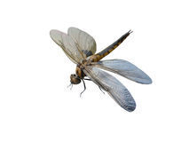 Dragonfly insects. It is isolated on a white background stock photography
