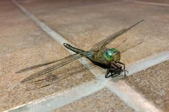 Dragonfly insects, nature, macro sits on the ceramic floor like on the runway. stock photo