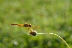 Dragonfly, insekt obraz stock
