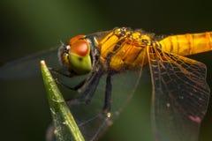 Dragonfly insekt obraz stock