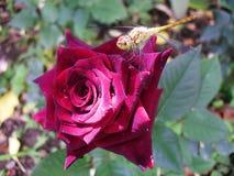 Dragonfly insekta różany czerwony kwiat Zdjęcia Stock
