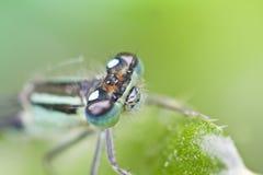 Dragonfly (Ischnura) Royalty Free Stock Photos