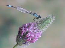 Dragonfly Ischnura elegans ebneri (male). On a plant Stock Photo