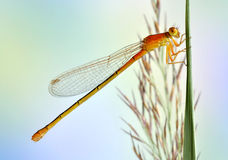 Dragonfly Ischnura pumilio (female, juvenile) Stock Photo