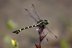 Dragonfly Ischnura senegalensis Royalty Free Stock Photos