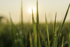 Dragonfly Island grass with dew. Sunset Royalty Free Stock Photo