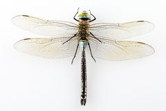 Dragonfly isolated Royalty Free Stock Photo
