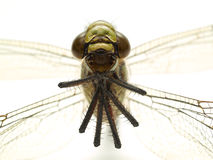 Dragonfly isolated front Royalty Free Stock Photos
