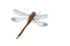 Dragonfly. Isolated on a white background Royalty Free Stock Photos