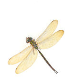 Dragonfly. Isolated on a white background Stock Image