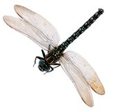 Dragonfly isolated on white background. Royalty Free Stock Images