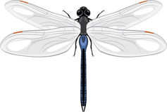 Dragonfly isolated on a white Royalty Free Stock Photography