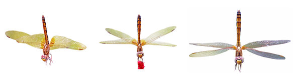 Dragonfly isolation Royalty Free Stock Photos