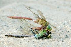 Dragonfly karmi samodzielnie zamknięty up makro- obrazy stock