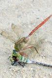 Dragonfly karmi samodzielnie zamknięty up makro- zdjęcia stock