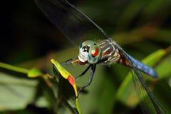 Dragonfly karmienie na gałąź Fotografia Stock
