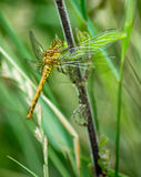 dragonfly keeled skimmer Obrazy Royalty Free