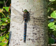 Dragonfly King. Royalty Free Stock Photo
