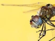 dragonfly kropelek woda Zdjęcie Stock