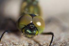 Dragonfly który patrzeje ciebie Obraz Stock