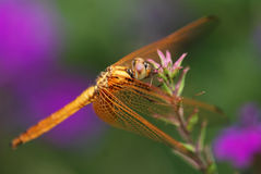 dragonfly kwiat Fotografia Stock