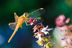 dragonfly kwiat Obraz Royalty Free