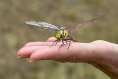 Dragonfly lądujący na kobiety ręce Zdjęcie Royalty Free