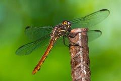 Dragonfly l Obrazy Royalty Free
