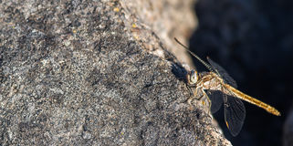 Dragonfly. Land on a sunny rock taking break- close up Royalty Free Stock Images
