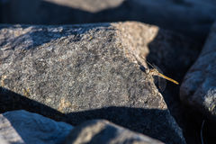 Dragonfly. Land on a sunny rock taking break for a wile- closeUp1 Royalty Free Stock Photography