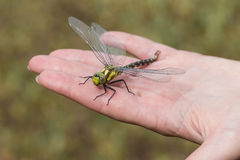 Dragonfly landed on the womans hand. Closeup large damselfly insect sit on womans hand Stock Images