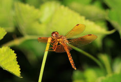 Dragonfly landing on a green stem Stock Photo