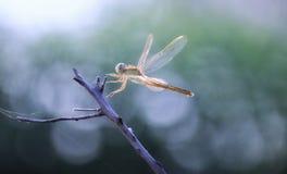 Dragonfly flying landing manuver stock photo
