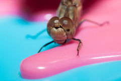 Dragonfly with large eyes insect macro. Closeup stock image