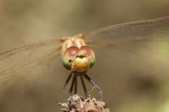 Dragonfly with large eyes insect macro. Closeup stock photography
