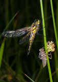 Dragonfly and larval case Royalty Free Stock Images