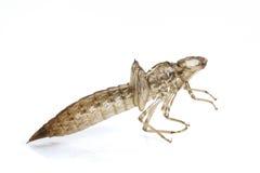 Dragonfly larval skin. On white background stock photo