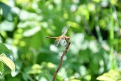 Dragonfly LAT. Odonata Royalty Free Stock Photos
