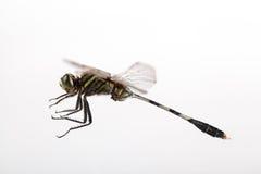 Dragonfly latanie Obrazy Stock