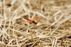 Dragonfly lato Obraz Stock
