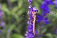 Dragonfly and lavender Stock Photos