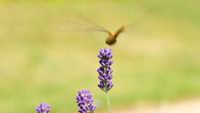 Dragonfly on lavender stock footage