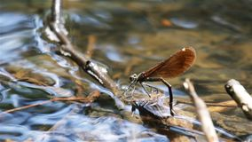 Dragonfly lay eggs under water from side