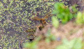 Dragonfly laying eggs Royalty Free Stock Photos