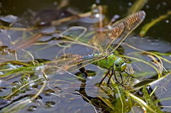Dragonfly laying eggs Royalty Free Stock Photo